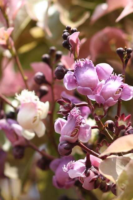 Série sobre a Sapucaia: macro de flores da Sapucaia 8 511