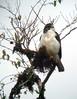Short-tailed Hawk by Langooney
