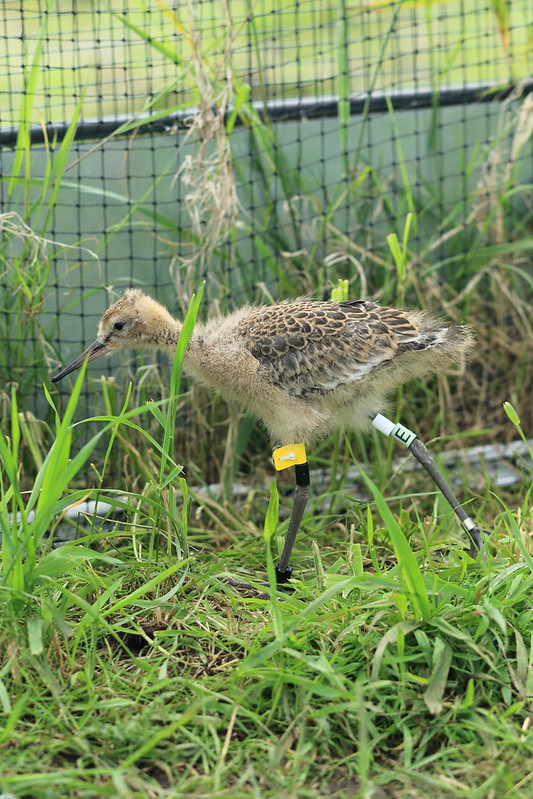 WE-GT-2018 Project Godwit chick YfN-WL(E)
