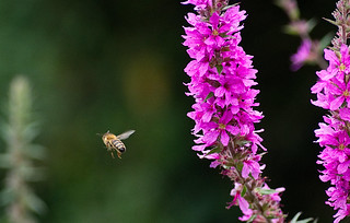 Flight of the bee 1 | by Pete Banks