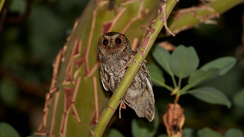 flammulated owl | by chloesview