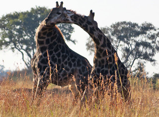 giraffes-fighting   by quirkytravelguy