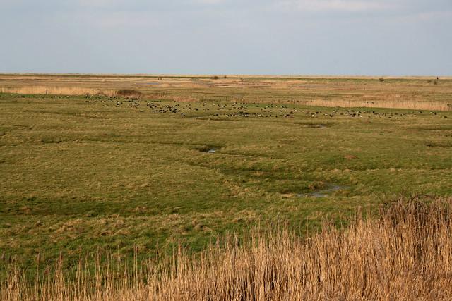 Plantago Marsh