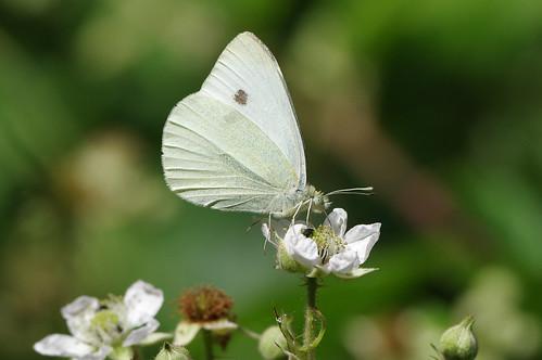 waresleywood cambridgeshire insect wild wildlife nature butterfly smallwhite pierisrapae