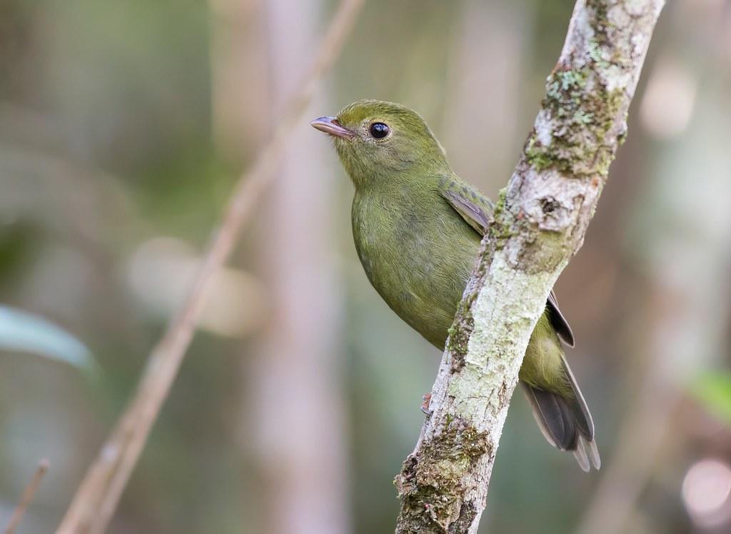 Tangará, Swallow-tailed Manakin (Chiroxiphia caudata) -  Female