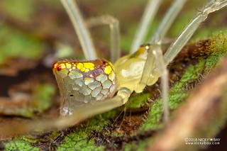 Mirror spider (Thwaitesia sp.) - DSC_6841 | by nickybay