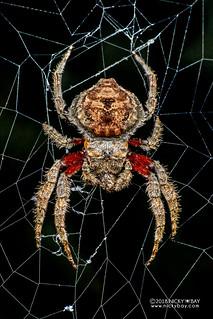 Broad-headed bark spider (Caerostris almae) - DSC_6648 | by nickybay