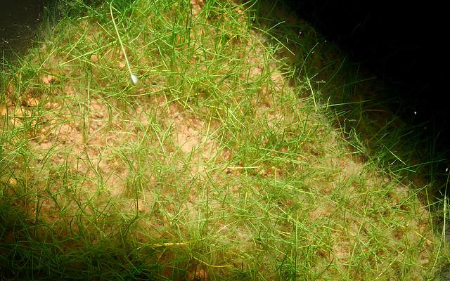 ビオトープの水生植物 ヘアーグラス マツバイ 田んぼの雑草