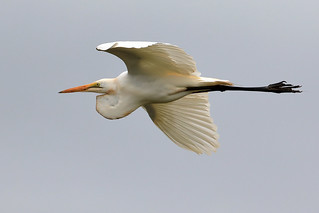 Great egret in flight | by dmmaus