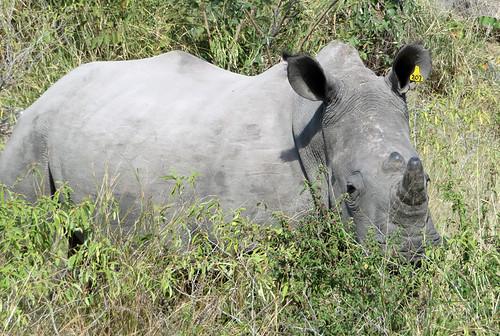 rhino-walking   by quirkytravelguy