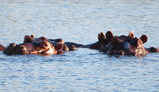 hippos-africa | by quirkytravelguy