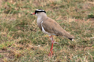 Crowned lapwing | by dmmaus