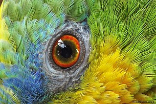 Eye and feathers | by cepsl