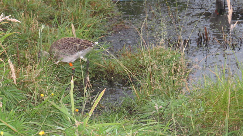 WE-LC-2018 Project Godwit chick OR-WL(E)