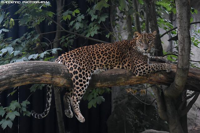 Sri Lanka Panther - Zoo Jihlava