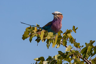 Purple roller (Coracias naevius), or rufous-crowned roller, Hwange National Park, Zimbabwe