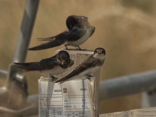 Swallows & Swifts | by Triker-Sticks