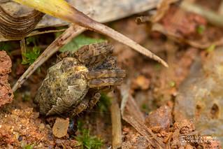 Tent web spider (Cyrtophora cf. citricola) - DSC_6883 | by nickybay