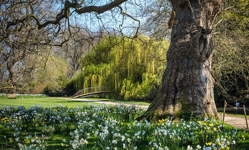 nationaltrust sunnyday beauty willow daffodil narcissus lawn trunk water river swan tranquil beautiful composition mottisfomt horticulture flowers