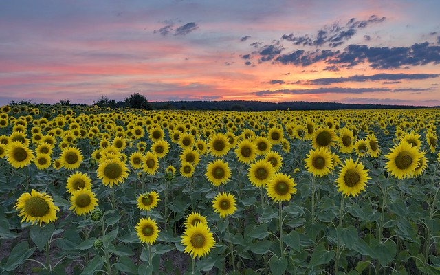 *Sunflower field at dusk*