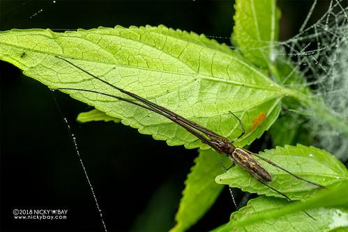 Big-jawed spider (Tetragnatha sp.) - DSC_7040 | by nickybay