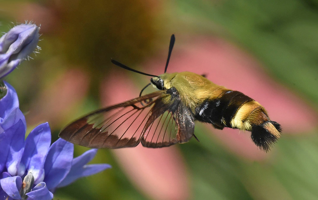 Image result for hummingbird moth clearwing