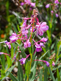 Fireweed | by snackronym