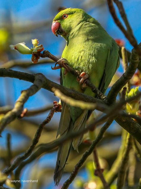 Ring necked parakeet (wild)