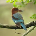 白胸翡翠-White-throated Kingfisher