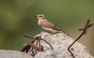 Каменка, самка - Wheatear, female | by SvetlanaJessy