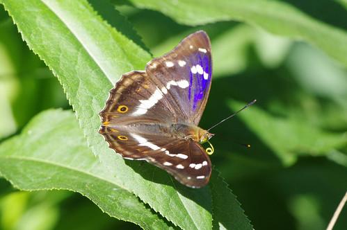 woodwaltonfen nature wild wildlife cambridgeshire insect butterfly purpleemperor apaturairis
