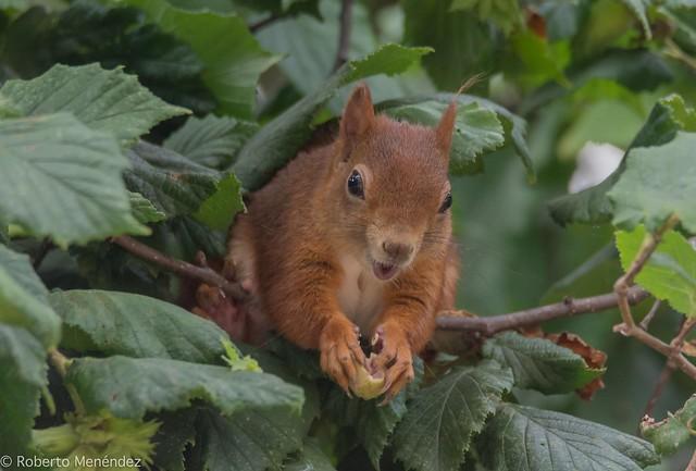 Ardilla roja,red squirrel(sciurus vulgaris)