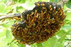 Port Louis Wasp Nest