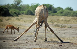 giraffe-bending-over | by quirkytravelguy