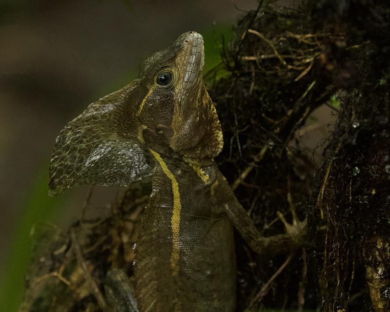 Brown Basilisk, Basiliscus sp._199A6874