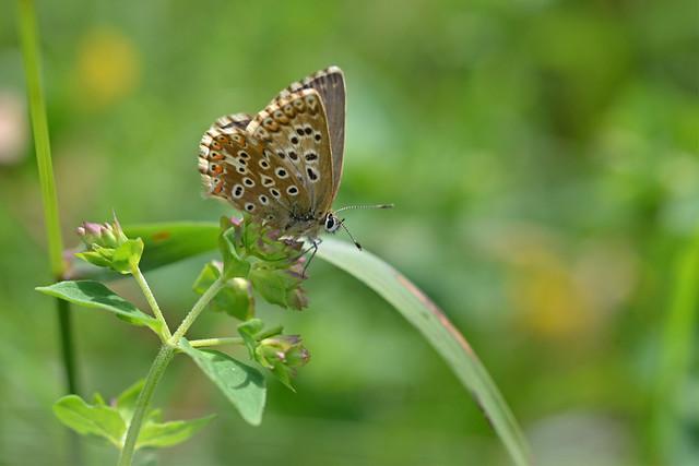 Chalk Hill Blue (Polyommatus coridon)