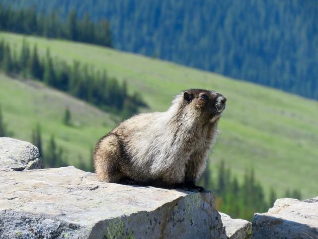 Cox Hill Hike - Marmot portrait