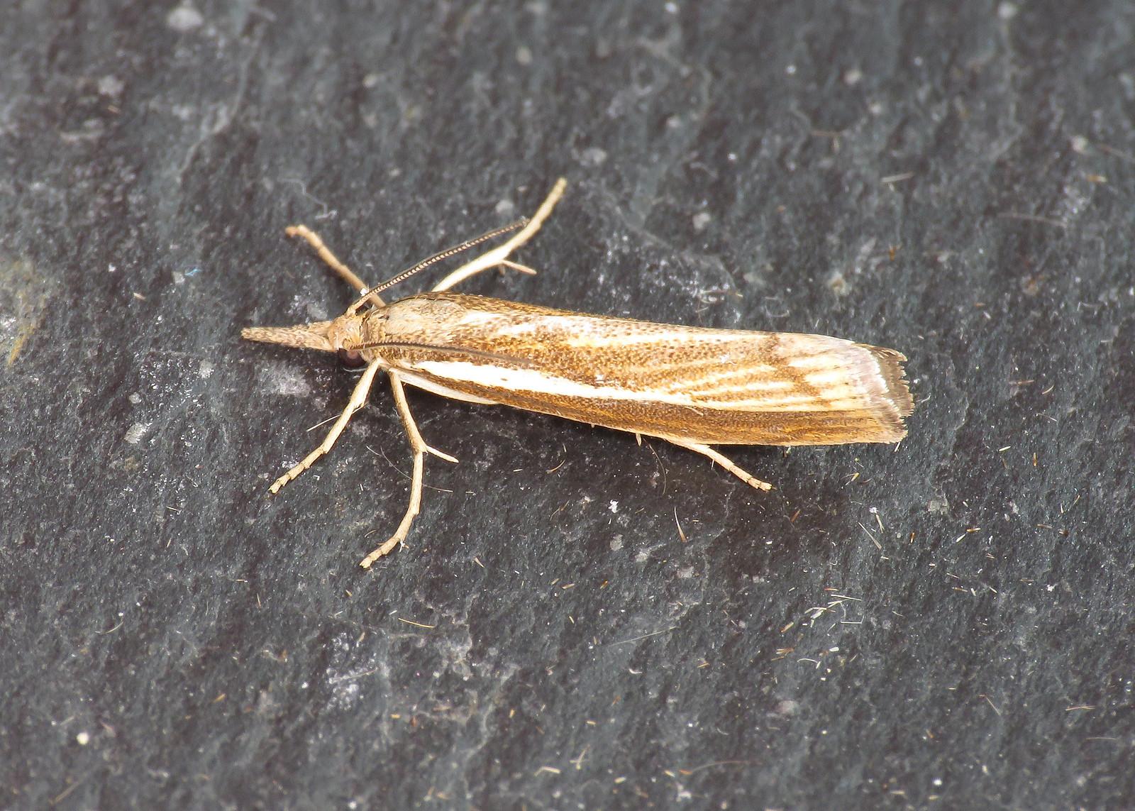 63.089 Common Grass-veneer - Agriphila tristella