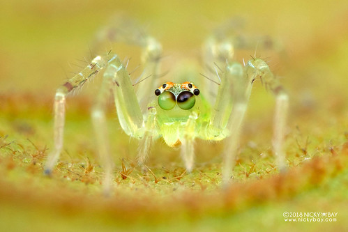 Jumping spider (Asemonea sp.) - DSC_7090 | by nickybay