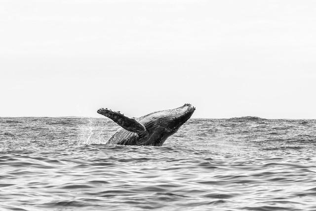 Baleine à Bosse, Megaptera novaeangliae