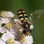 Mondfleck-Schwebfliege (Moon-marked Field Hoverfly, Eupeodes luniger)
