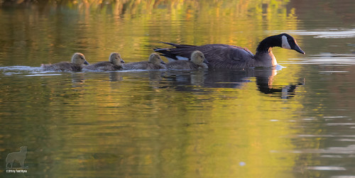 goose gosling