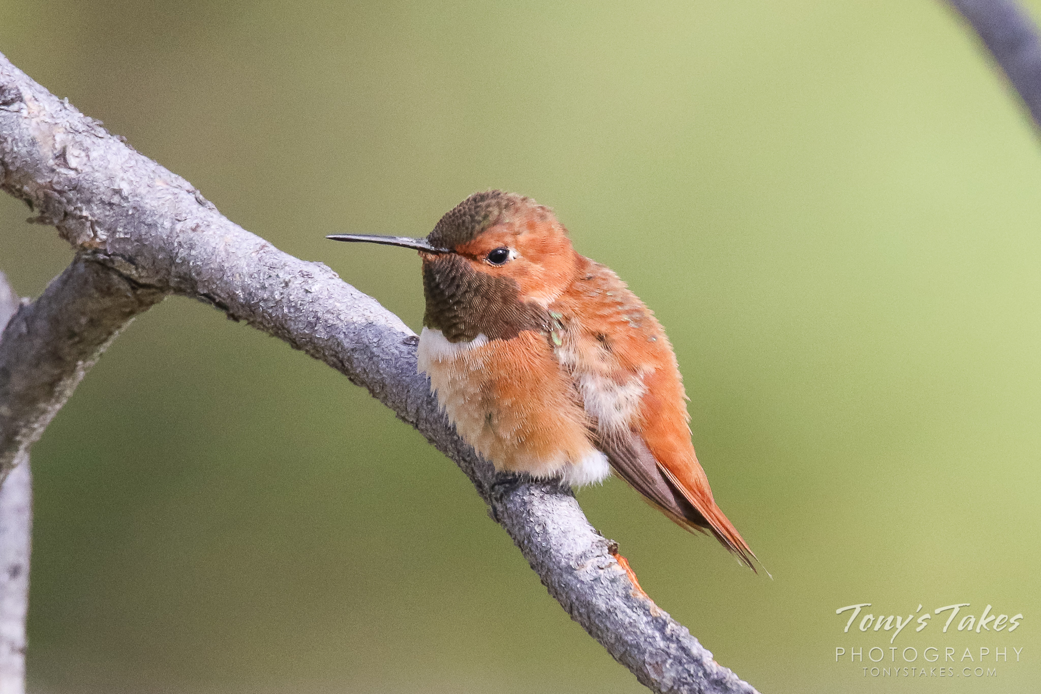 Handsome Rufous Hummingbird hangs out in the forest