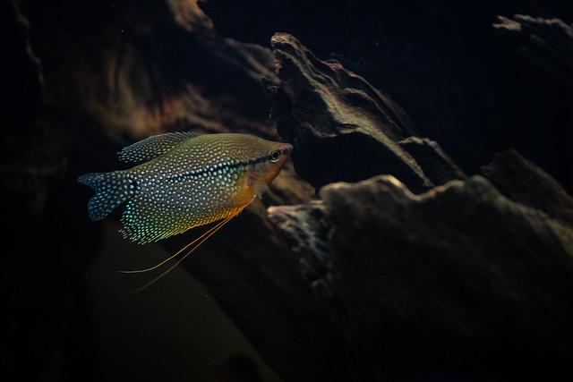 pearl gourami