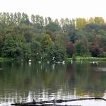 Lachmöwen (Chroicocephalus ridibundus) halten sich gern am Ümminger See auf