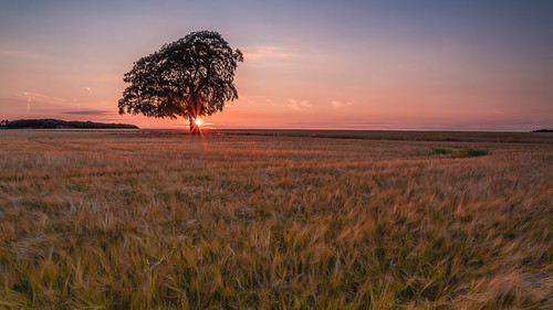 lonetree tetbury gloucestershire crops sunset sunsets silhouettes
