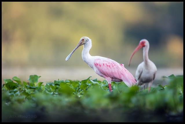 Spoonbill & Ibis