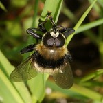 Narzissenschwebfliege (Narcissus Bulb Fly, Merodon equestris)