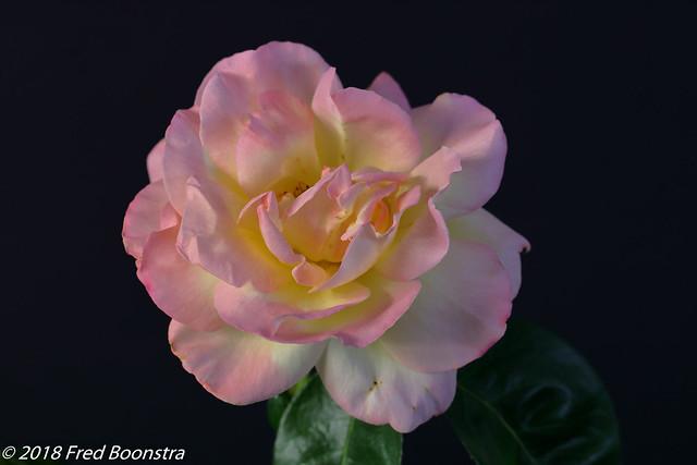 Flower Art from our garden,