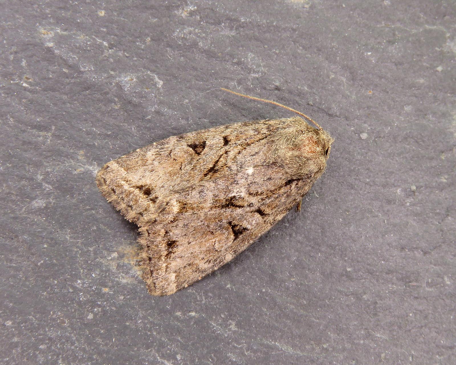 73.222 Dingy Shears - Apterogenum ypsillon
